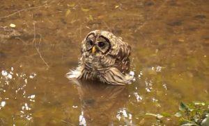Owl Taking Bath in Bog